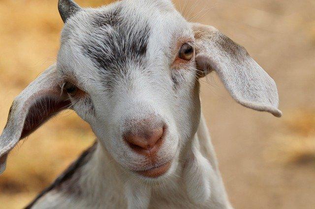 ile kosztuje koza